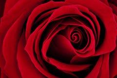 黑暗的宏观红色上升了 库存照片