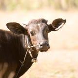 黑暗的巴厘岛母牛 免版税库存照片