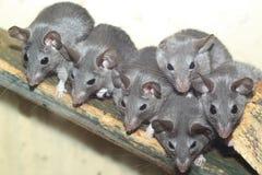 黑暗的开罗多刺的老鼠 图库摄影