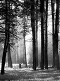 黑暗的树在有薄雾的森林里 免版税库存照片