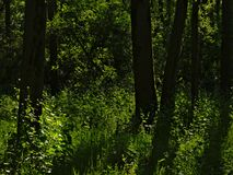 黑暗的树干和晴朗的绿色春天叶子在一个森林里在Vinderhoute,富兰德 免版税库存照片