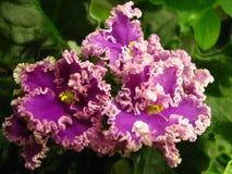 黑暗的桃红色倒挂金钟开花与非常在绿色背景的波纹状的轻的淡紫色边缘 免版税库存照片