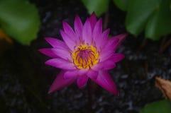 黑暗的桃红色莲花包括有昆虫登山人的黄色雄芯花蕊 免版税库存照片