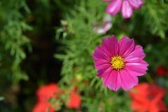 黑暗的桃红色菊花 免版税图库摄影