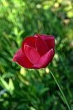 黑暗的桃红色郁金香 免版税库存图片