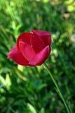 黑暗的桃红色郁金香 免版税图库摄影