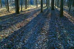 黑暗的森林早晨阳光 库存照片