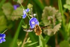 黑暗的渐近的蜜蜂飞行 图库摄影