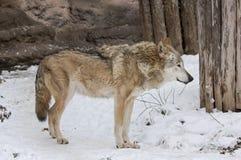 黑暗的灰色冬天狼 免版税库存图片