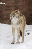 黑暗的灰色冬天狼 免版税库存照片