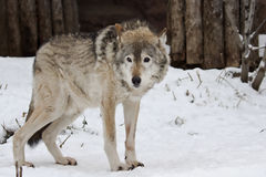黑暗的灰色冬天狼 图库摄影