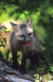 黑暗的狐狸阶段小狗红色 免版税库存照片