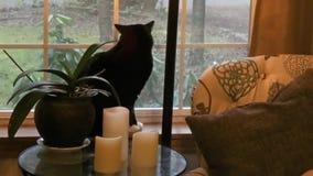 黑暗的猫在注视着天气外部的明亮的窗口里 股票录像