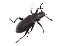 黑暗的甲虫 免版税库存照片