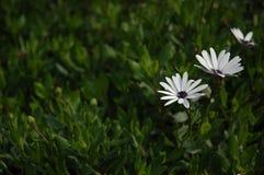 黑暗的白花 库存图片