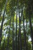 黑暗的竹森林,垂直的背景 图库摄影