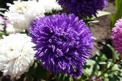 黑暗的紫罗兰色和白色翠菊在秋天 库存照片