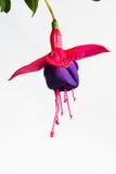 黑暗的紫罗兰色和红色倒挂金钟开花的美丽的唯一花在白色背景, ` Rohees新的千年`被隔绝 图库摄影