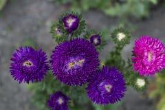 黑暗的紫罗兰色翠菊花在夏天庭院,顶视图里增长 免版税库存图片