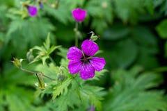 黑暗的紫色紫罗兰色大竺葵psilostemon花作为背景 库存图片