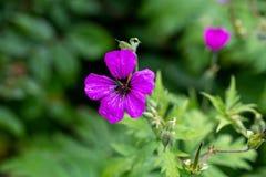 黑暗的紫色紫罗兰色大竺葵psilostemon花作为背景 免版税库存图片