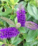 黑暗的紫色赫柏补遗花在秋天 免版税库存图片