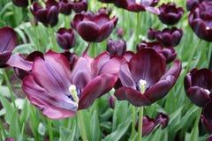 黑暗的紫色郁金香 库存图片