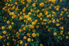 黑暗的花卉背景 新鲜的黄色开花的灌木在庭院里 图库摄影