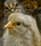 黑暗的鸡 库存照片