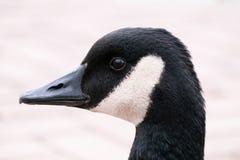 黑暗的鹅画象  免版税图库摄影