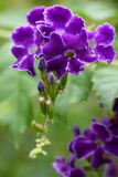 黑暗的duranta紫色 库存照片