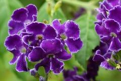 黑暗的duranta紫色 库存图片