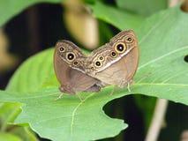 黑暗被烙记的布什布朗蝴蝶 免版税库存照片