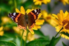 黑暗黄色花卉生长在一个绿色草甸和蝴蝶o 免版税库存图片