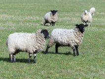 黑朝向的绵羊在绿色牧场地 免版税库存图片