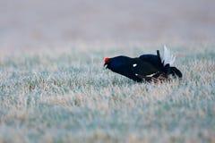 黑松鸡在雾草甸 Lekking好的鸟黑松鸡,北欧产雷鸟类tetrix,在沼泽地,瑞典 在自然的冷的春天 Wildli 免版税库存照片