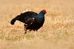 黑松鸡在雾草甸 Lekking好的鸟黑松鸡,北欧产雷鸟类tetrix,在沼泽地,瑞典 在自然的冷的春天 Wildli 免版税图库摄影
