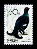 黑松鸡(Lyrurus tetrix),鸟类学家Won的洪顾医生 图库摄影
