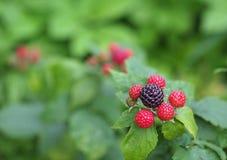 黑树莓成熟的莓果  图库摄影