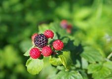 黑树莓成熟的莓果  免版税库存照片