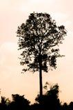 黑树 库存例证