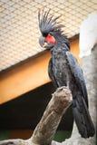 黑棕榈美冠鹦鹉 库存照片