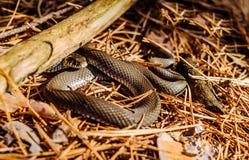 黑森林蛇在一块晴朗的森林沼地 免版税库存照片