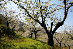 黑樱桃开花结构树 库存照片
