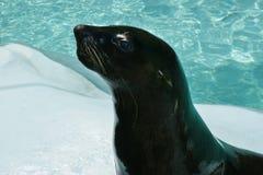 黑海狮子 库存照片