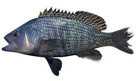 黑海鲈鱼 免版税库存图片