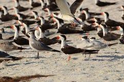 黑漏杓群在一个海滩的在佛罗里达 免版税图库摄影