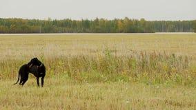 黑灵狮寻找野兔 股票视频