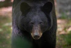 黑熊在宾夕法尼亚 库存图片