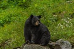 黑熊坐岩石 免版税库存照片